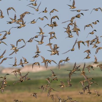 Vogelzug Nordseeküste und Norderney