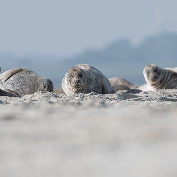 Seehundekolonie Norderney