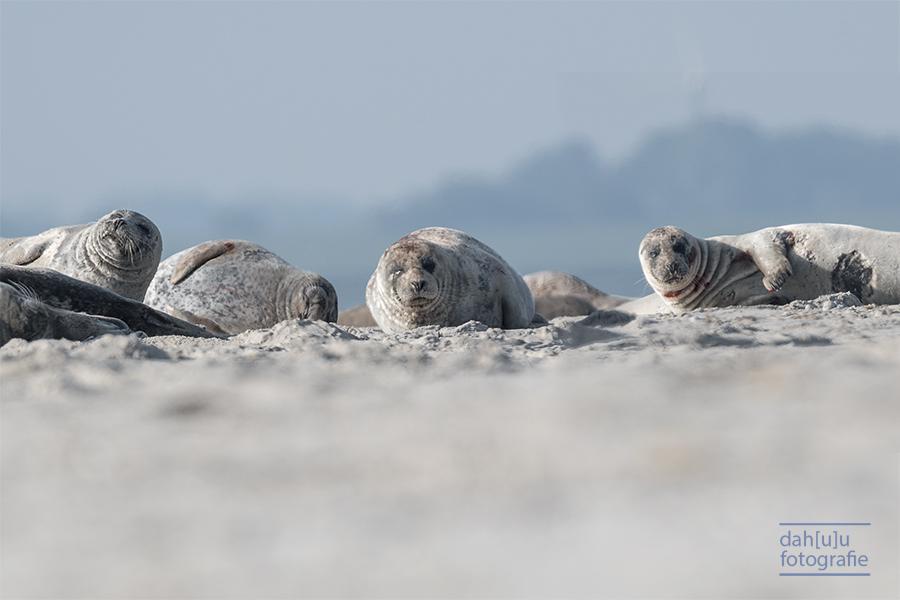 Seehunde Kolonie